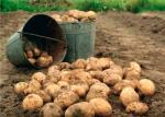 Картошка баҳона...